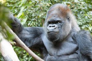 Read more about the article Murió Vip, el entrañable gorila del zoológico de Woodland Park, padre de 7 hijas