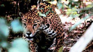 Existen 230.000 acres de selva tropical protegida como punto de acceso a la biodiversidad para los jaguares en Belice
